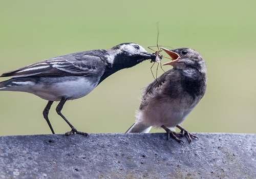 bird gray bird feeding another bird with spider fordham heath