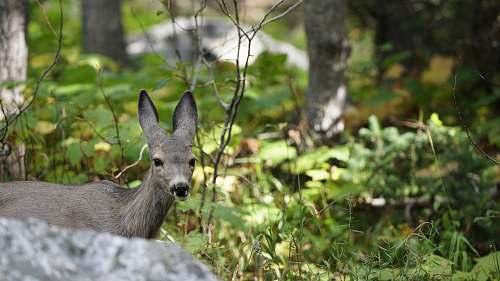 mammal gray deer behind rock kangaroo