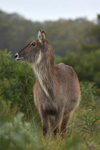 kangaroo gray deer wallaby