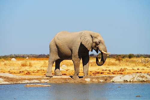 elephant gray elephant standing near body of water mammal