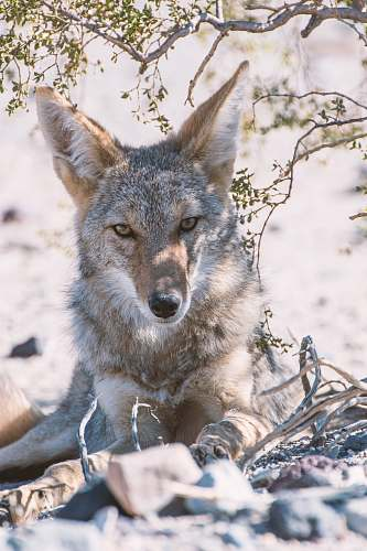 canine gray fox photography coyote