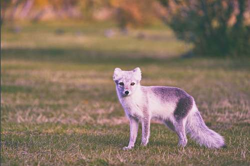 fox gray fox walking on field wildlife