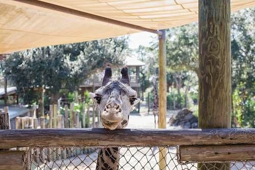 zoo gray giraffe porch
