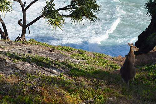 wallaby gray kangaroo kangaroo
