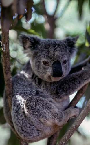 koala gray koala bear wildlife