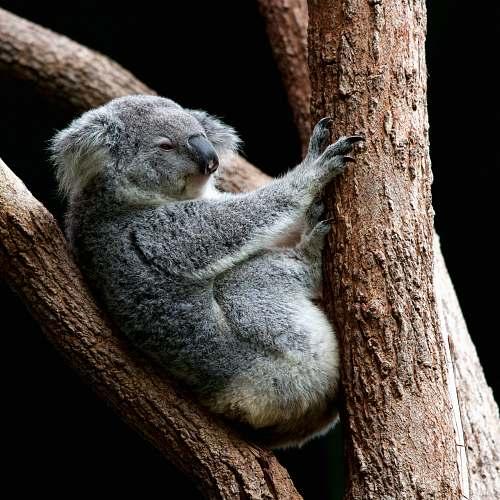 wildlife gray koala perching on tree koala