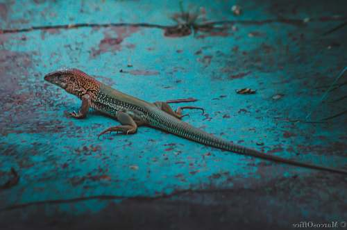 lizard gray lizard on teal surface reptile