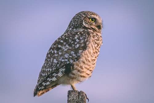 bird gray owl accipiter