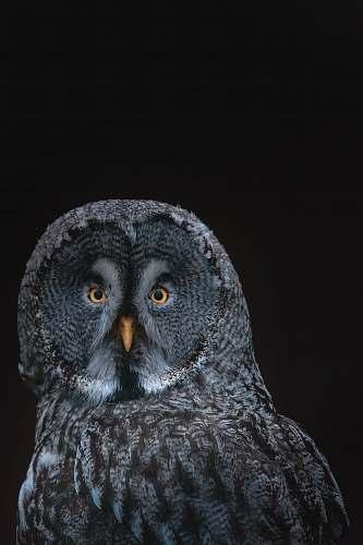 bird gray owl on black background owl
