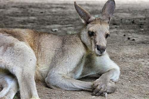 kangaroo gray rabbit mammal