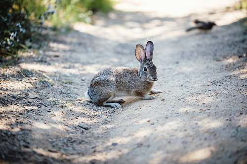 mammal gray rabbit kangaroo