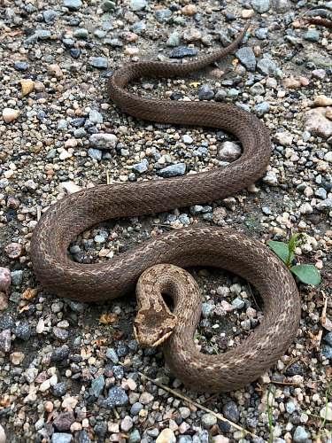 reptile gray snake n gravel snake