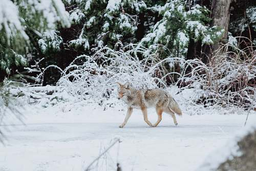 mammal gray wolf walking on snow coyote