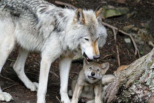 canine gray wolves near tree trunk wolf