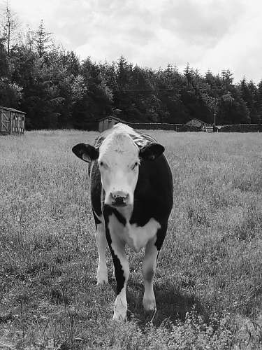 cow grayscale photo of cow black-and-white