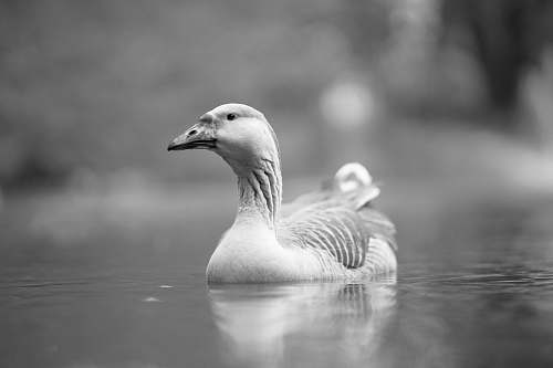 photo bird grayscale photo of duck on body of water black-and-white free for commercial use images