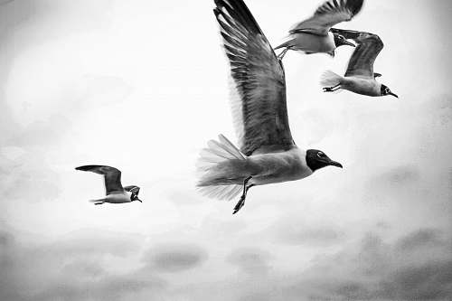 black-and-white grayscale photography of four flying birds bird