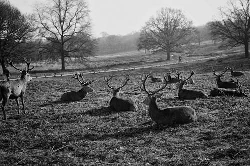black-and-white grayscale photography of group of deer deer