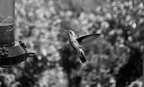 bird grayscale photography of hummingbird flying black-and-white