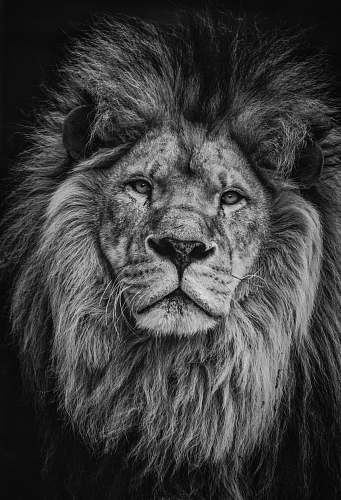 black-and-white grayscale photography of lion lion