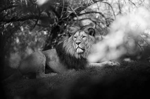 lion grayscale photography of male lion black-and-white