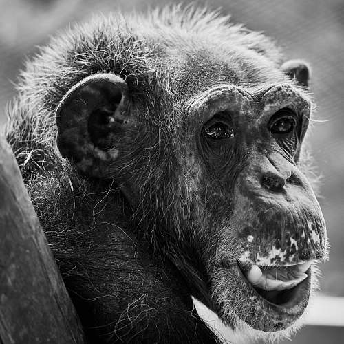 photo black-and-white grayscale photography of monkey ape free for commercial use images