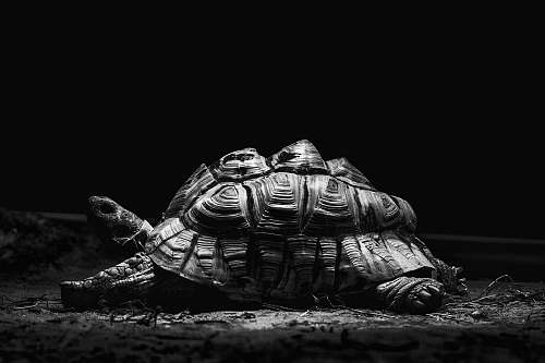 black-and-white grayscale photography of turtle turtle