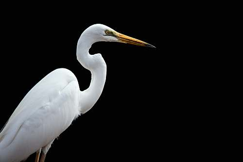 photo bird great egret bird waterfowl free for commercial use images