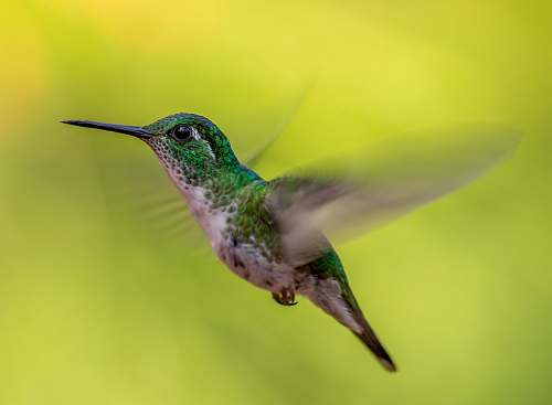 bird green and gray humming bird screenshot hummingbird