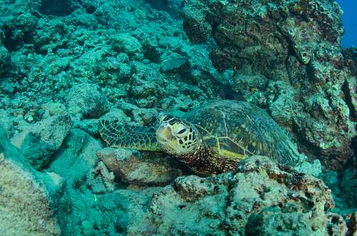 reptile green and gray turtle near coral reef turtle