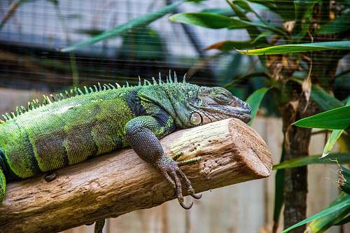 reptile green bearded dragon lizard