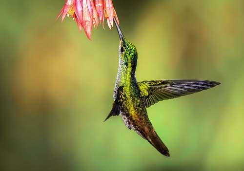bird green hummingbird pollinating on pink petaled flowers hummingbird