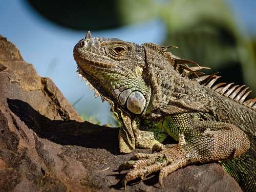 reptile green lizard on brown rock lizard