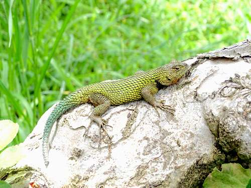 reptile green lizard on log lizard