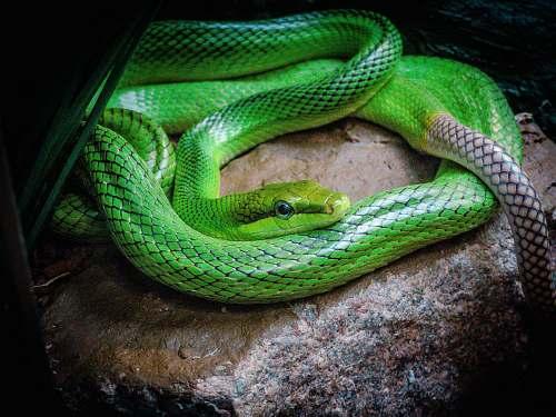 reptile green snake on stone snake