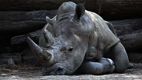 rhino grey rhino lying beside grey cut logs grey