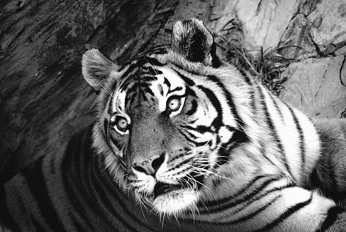 black-and-white greyscale photo of tiger tiger