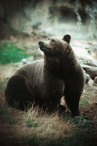 wildlife grizzly bear bear