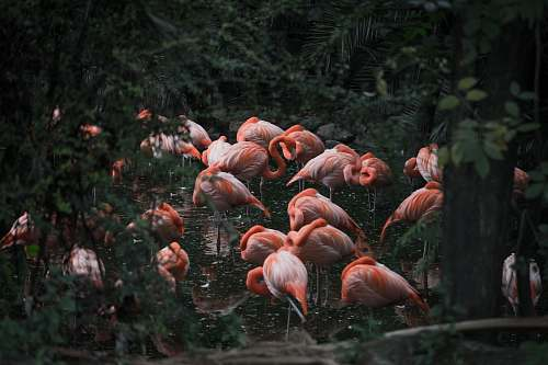 photo bird group of pink flamingo flock free for commercial use images