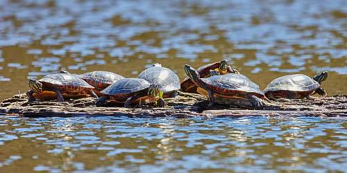 reptile group of turtles floating on water turtle