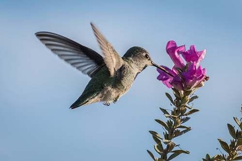 bird hummingbird pecking on purple petaled flower hummingbird