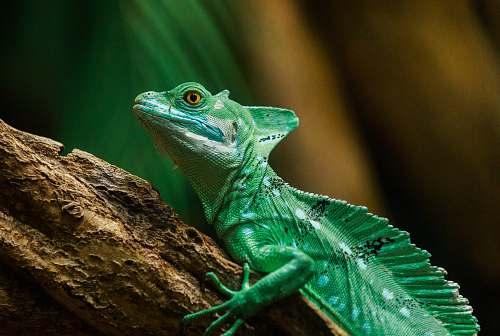 lizard iguana on brown branch reptile