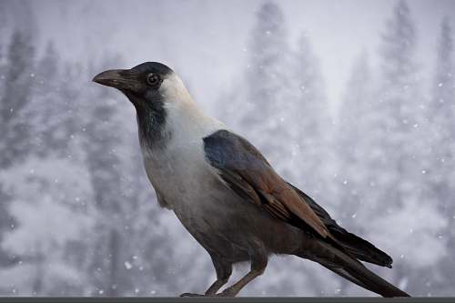 bird large-beaked brown, white, and black bird crow