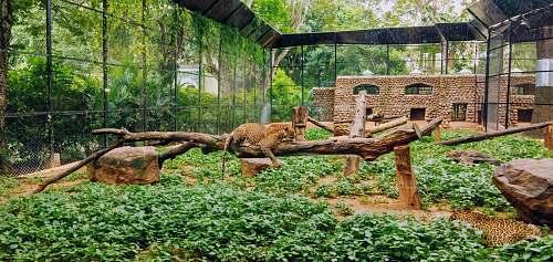 zoo leopard on tree branch mammal