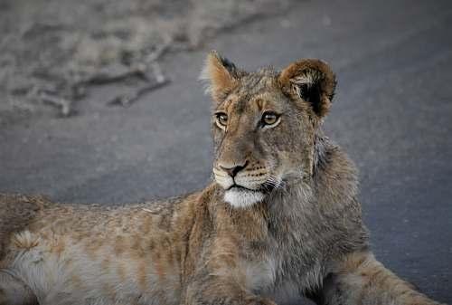 mammal lion cub lying on ground lion