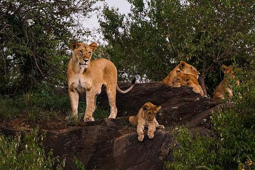 wildlife lion, lioness, and cub mammal