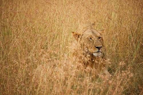 lion lion on brown grass field during daytime savanna