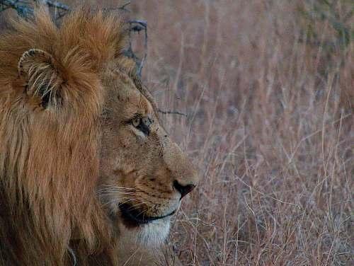 lion lion on grass field mammal