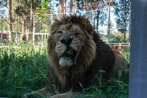 mammal lion photograph wildlife