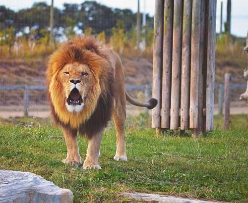 mammal lion standing on grass field canine